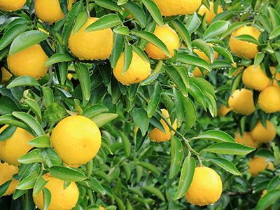 美味しそうな柑橘系の果物